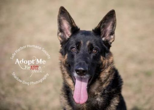 Kenosha Wi German Shepherd Dog Meet Booster Aka Black Jack A Pet For Adoption German Shepherd Dogs German Shepherd Shepherd Dog