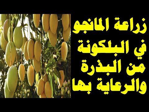 اسهل طريقة لنجاح زراعة بذور المانجو في المنزل و طريقة الرى والتسميد والعناية بالشتلة Youtube Need Money Ramadan
