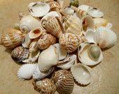 Seashells 15 Murex Turnispina Seashell Supply by ShellsUnlimited