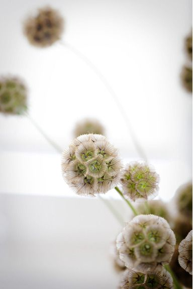 ..born and raised in a flowershop.. and still my favorite flowers.. are wild ones. scabiosa pods. love, love, love them.