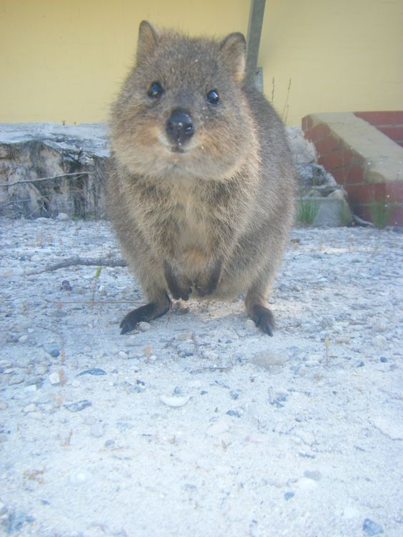 Cute Quokka only found on Rottnest Island off the
