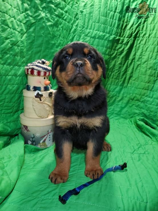 Oliver Rottweiler Puppy For Sale In Dundee Oh Buckeye Puppies In 2020 Rottweiler Puppies Puppies Rottweiler Puppies For Sale