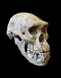 This is Dmanisi skull 5.  Credit: Picture: Guram Bumbiashvili, Georgian National Museum