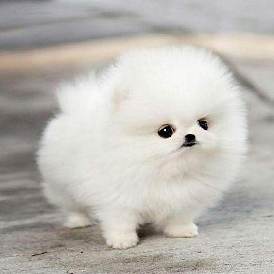 Sweet Dog Fluffy Animals Pomeranian Puppy Cute Baby Animals