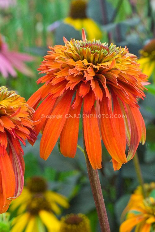 echinacea 39 hot papaya 39 for the home pinterest galleries. Black Bedroom Furniture Sets. Home Design Ideas
