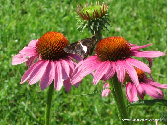 Can you see the Skipper? Butterflies and Skippers are attracted to Purple Coneflowers (Echinacea purpurea)