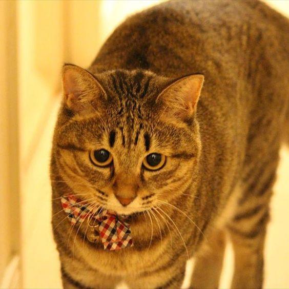 「何か狙ってる?what do u want hunt ?  久しぶりにうめぴんを一眼レフで撮ってみました。haven't taken her pics by single lens reflex camera for a while.  #cat #neko #tabby #ねこ #猫 #猫写真 #ネコ…」