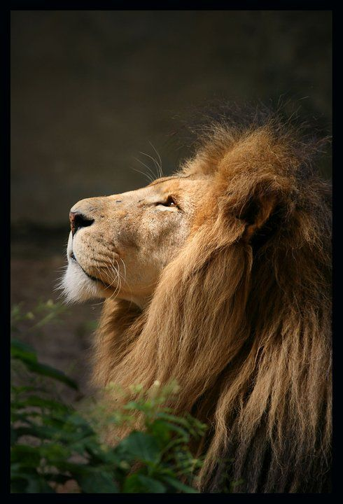 "The Lion of Judah ~  Revelation 5:5 NASB   and one of the elders said to me, ""Stop weeping; behold, the Lion that is from the tribe of Judah, the Root of David, has overcome so as to open the book and its seven seals.  (AMEN!!!)"