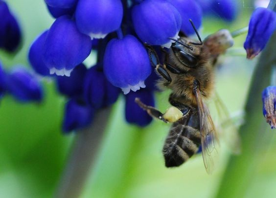 Biene, Imme, Traubenhyazinthe, Pollen, Frühling, Natur