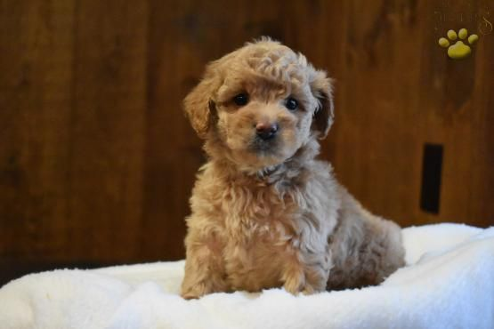 Princess F2b Mini Goldendoodle Puppy For Sale In East Earl Pa