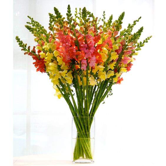 Snapdragons are available year-round from flower farms in California and are available in a wide spectrum of colors - from soft pinks to rich and vibrant red, yellows and oranges.