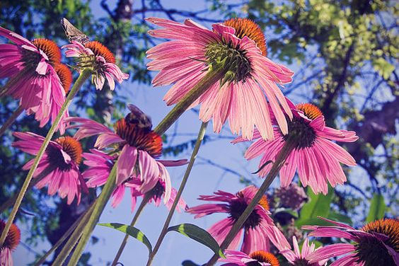 Hey, this is my really awesome Etsy listing at https://www.etsy.com/listing/219453387/pink-coneflower-photograph