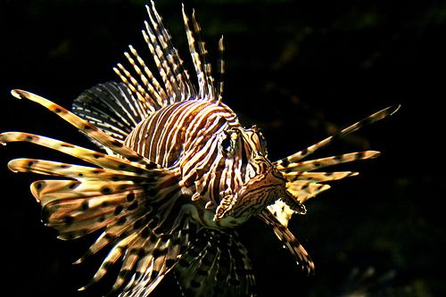 Lion Fish and very deadly.