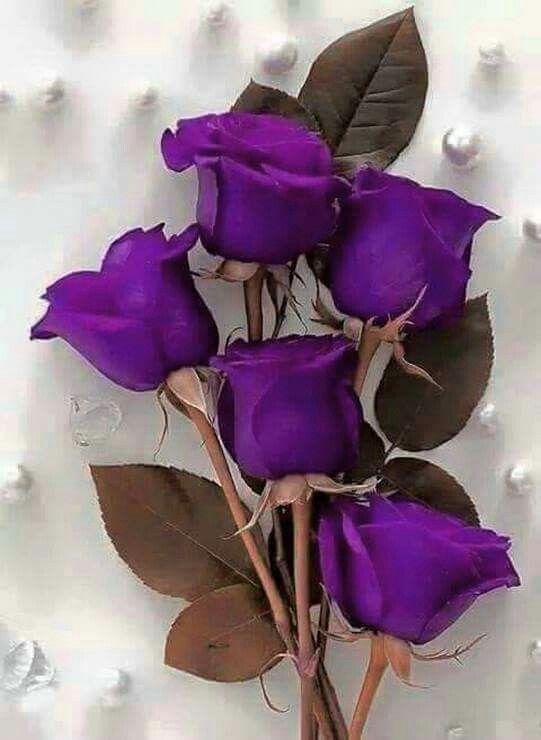 Purple roses: