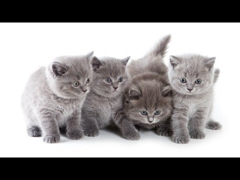 Cute Kittens Playing With Mama Kittens Cutest Grey Kitten Grey Cats