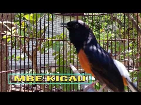 Jangan Kaget Kalau Murai Batu Anda Ikut Gacor Dan Nembak Jika Didekatkan Murai Ini Youtube Birds Animals Kinds Of Birds