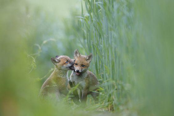 Der Fuchs: bejagt, verdrängt und wunderschön - kwerfeldein - Fotografie Magazin