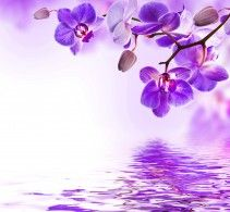 Обои Орхидеи Фиолетовый Цветы