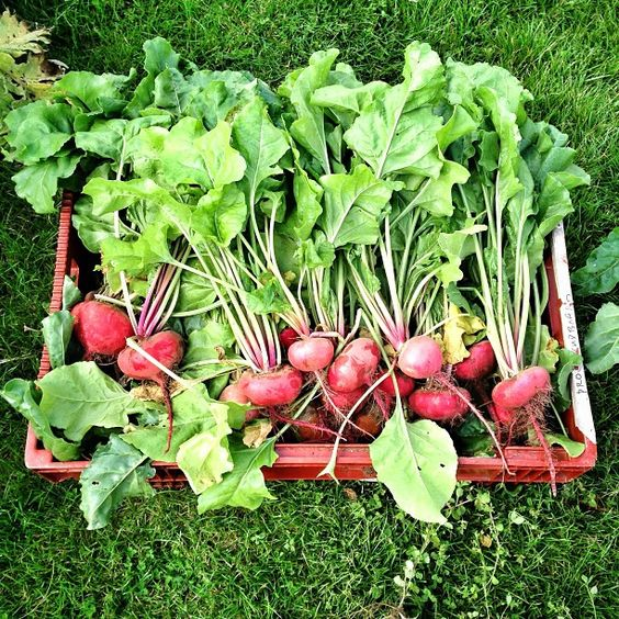 "@Jamie Wise Oliver's photo: ""Big box of Mixed Beets for Fifteen tomorrow @jamiesfifteen delicious so many things you can do with them #jamie xxxxx"""