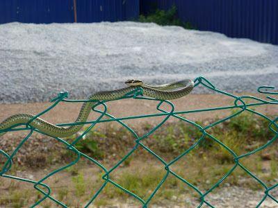 Snake Arau, elegant snake, Die Schlange balanciert elegant auf dem Zaum.