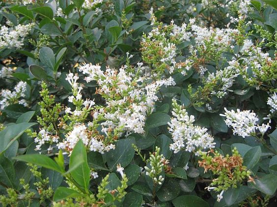 California privet (Ligustrum ovalifolium)  can grow to 20'!