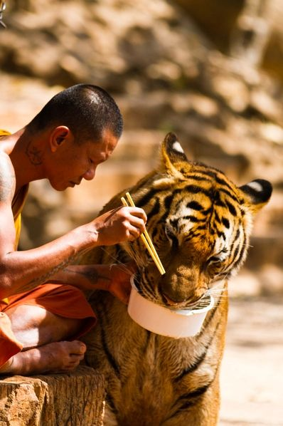 Thai Buddhist Monk feeding a tiger from his own bowl in Tiger Temple, or Wat Pha Luang Ta Bua, which is a Theravada Buddhist temple in western Thailand that was founded in 1994 as a forest temple and sanctuary for wild animals, among them several tigers, mostly Indo-chinese Tigers.: