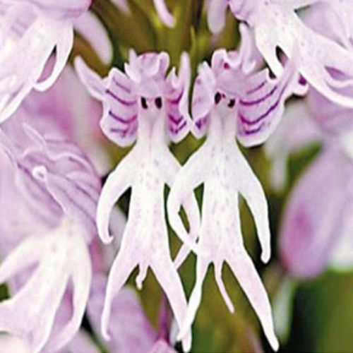 10Pcs-Monkey-Face-Orchid-Flower-Seeds-Bonsai-Plants-Flower-Dracula-Simia-Seed-5