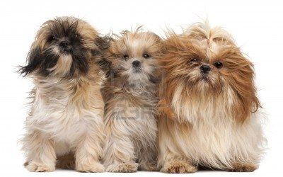 Three Shih-tzus With Windblown Hair In Front Of White Background. Royalty Free Photos, Pictures, Images and Stock Photography :: 123RF