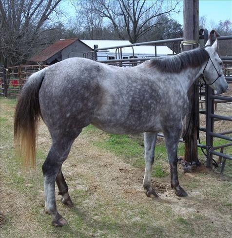 Appendix Quarter Horse Gelding For Sale in Alabama ...