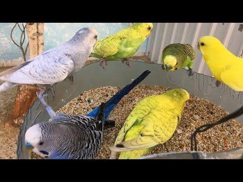تغريد طيور الحب Youtube Animals Bird Parrot
