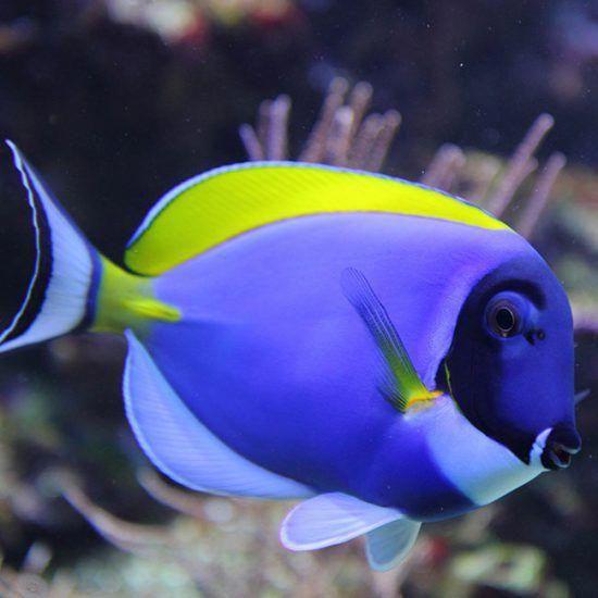 Powder Blue Tang Koifishinformation Salt Water Fish Saltwater Fish Tanks Underwater Animals