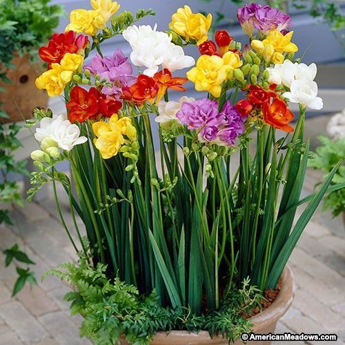Double Petal Freesia Is An Elegant Bell Shaped Flower Which Lends A Delightful Fragrance To Garden Beds Contain Freesia Flowers Fragrant Flowers Bulb Flowers