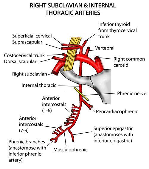 Interior Inferior Phrenic Artery Branches Full Hd Maps Locations