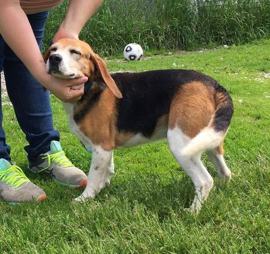 Beagle Dog For Adoption In Orleans Vt Adn 563780 On Puppyfinder