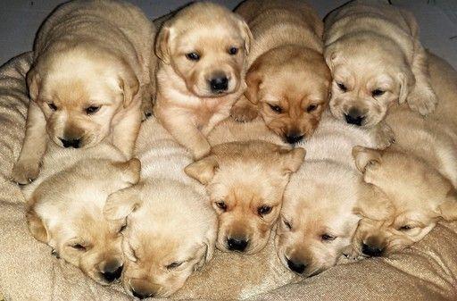 Litter Of 9 Labrador Retriever Puppies For Sale In Arcola Il Adn
