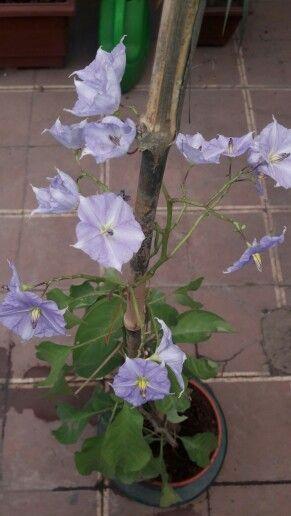 Solano de flor azul dulc mara perenne solanum for Arboles perennes de crecimiento rapido en argentina