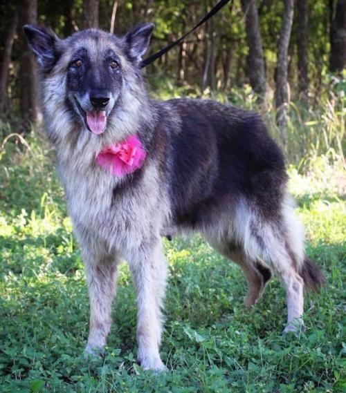 Adopt Gemma Tx On Petfinder In 2020 Dog Adoption Dog Search German Shepherd Dogs