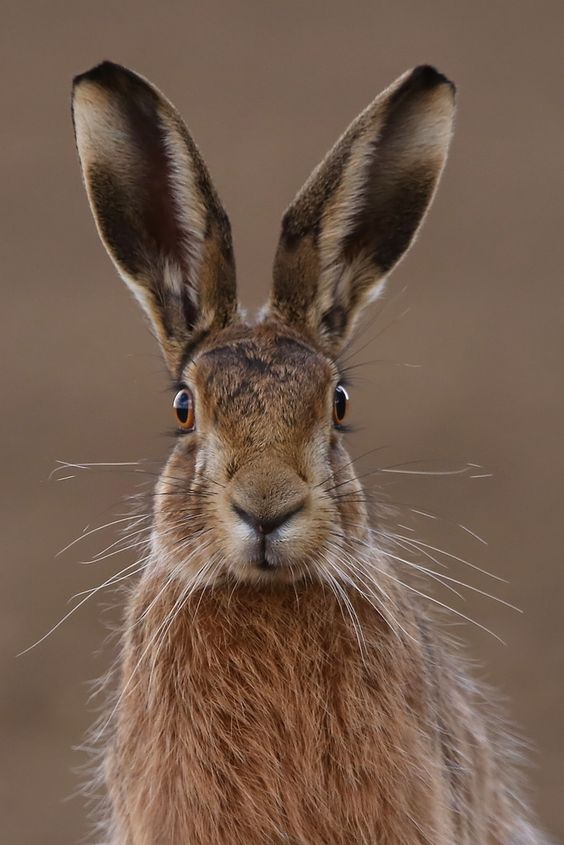"phototoartguy: "" Hare poses Suffolk 25.3.2015 PART 2 (1) by Margaret the Novice on Flickr ☛ http://flic.kr/p/rNF3MF """