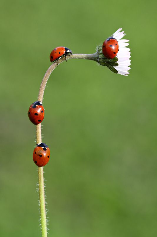 Ladybug parade. Every yr. we buy a bunch of them to let loose in the garden. They eat all the aphids that decimate the roses!
