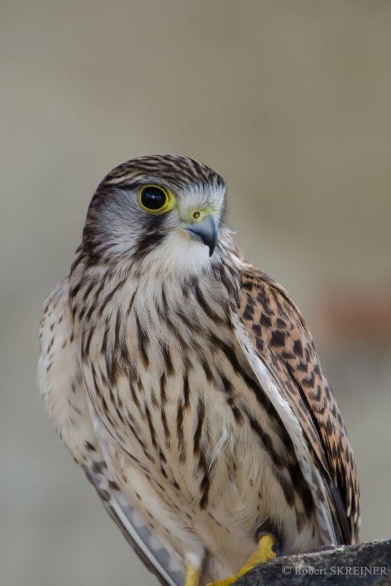 Common Kestrel (Falco tinnunculus) - Turmfalke See more photos at: SKREINER.COM