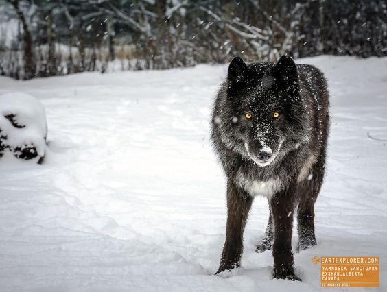 Say Hello to Zeus - Yamnuska Wolfdog Sanctuary