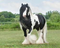 Gypsy horses, amazing...beautiful.
