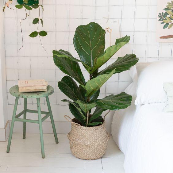 Ficus lyrata Léon - Livraison express de plantes et cactus en France   Bergamotte