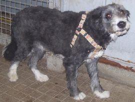 Husky (Mâle Croisé griffon Né en janvier 2010 Castré Husky est très câlin. Son ancien propriétaire lui avait laissé trop longtemps un collier trop petit pour lui, il ne supporte donc pas de porter un collier. Son cou étant devenu trop sensible. Il peut cependant très bien supporter un harnais. Il s'entend aussi bien avec les chiens que les chats. Il a seulement un petit défaut de propreté qui peut se régler très facilement. N° de tatouage : 250269500318577)