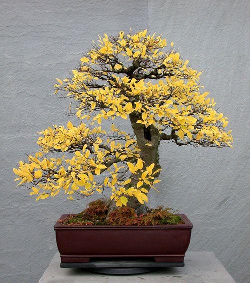 Bonsai Penjing Museum Collections In Dc National Bonsai Foundation Bonsai Garden Bonsai Japanese Bonsai