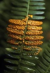 Gold colored Slime Mold on a fern leaf. ~Sharnoff Photos