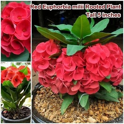 Red Euphorbia Milii Rooted Plant Thai Crown Of Thorns Christ Thorn Tall 7 Inches Euphorbia Milii Piante Semi Di Fiori