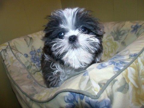 Shih Tzu Puppy For Sale In Paterson Nj Adn 59023 On Puppyfinder