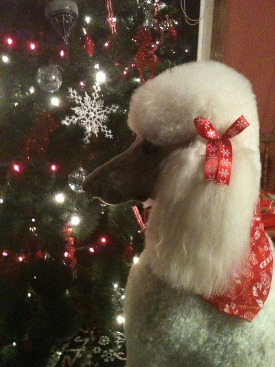 Christmas Poodle! Your thoughts?