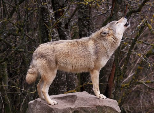 wolf - Pesquisa Google